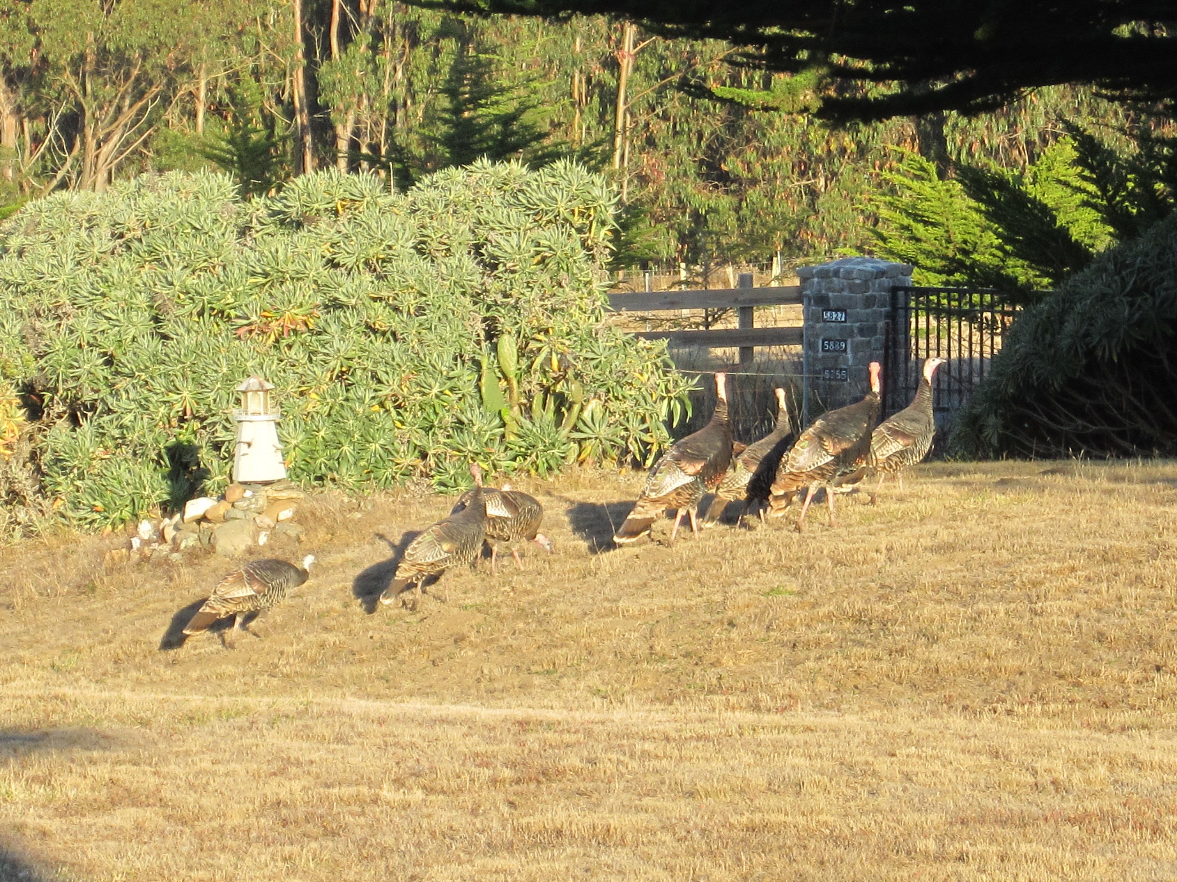 Wild turkeys at our Airbnb accomoations in Bodega Bay.