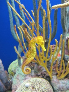 Seahorse at Monterey Bay Aquarium