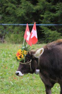 Cow Flims CH AlpAbzug