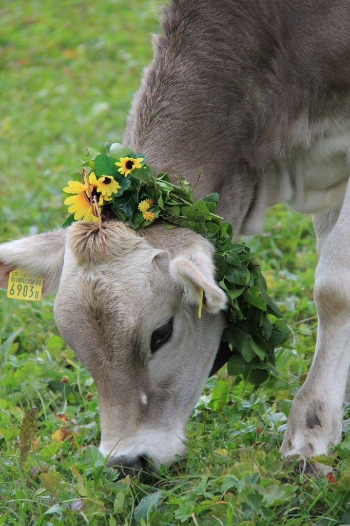 Flims CH AlpAbzug cow with wreath