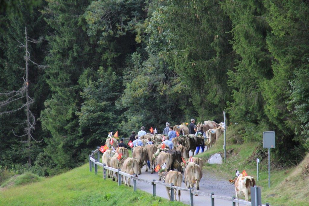 cows on road during AlpAbzug