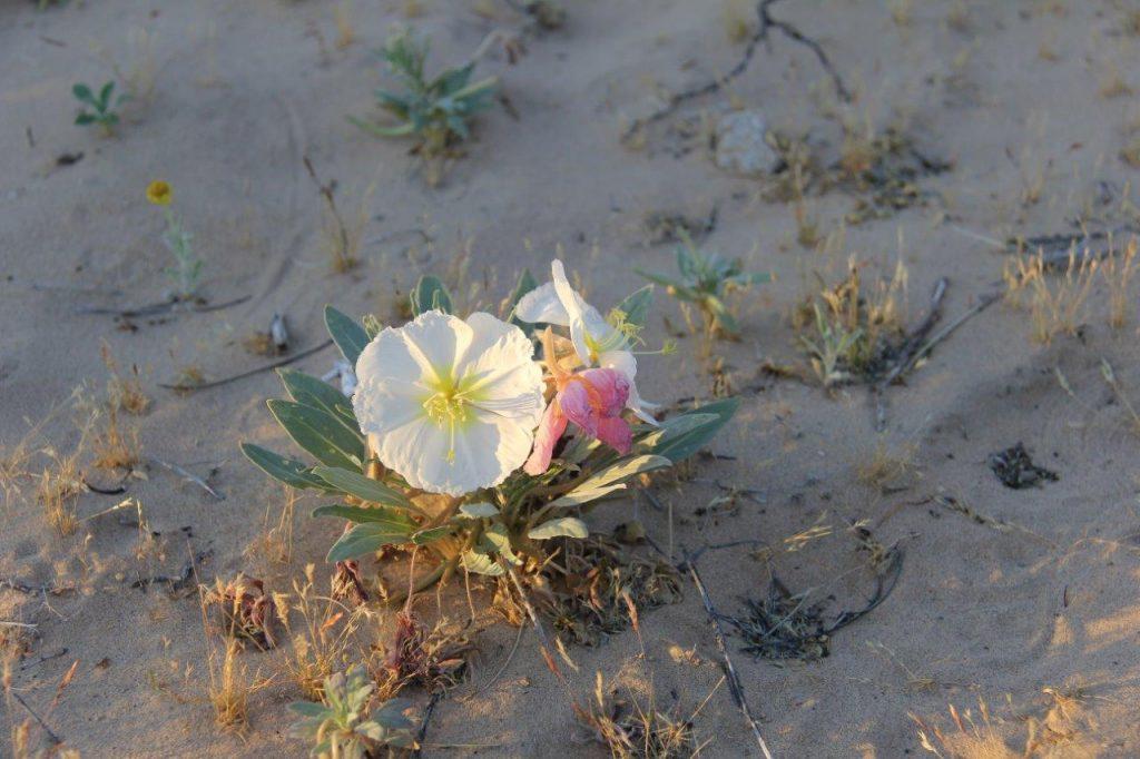 Kelso Dunes Wild Flower