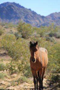 Wild female horse