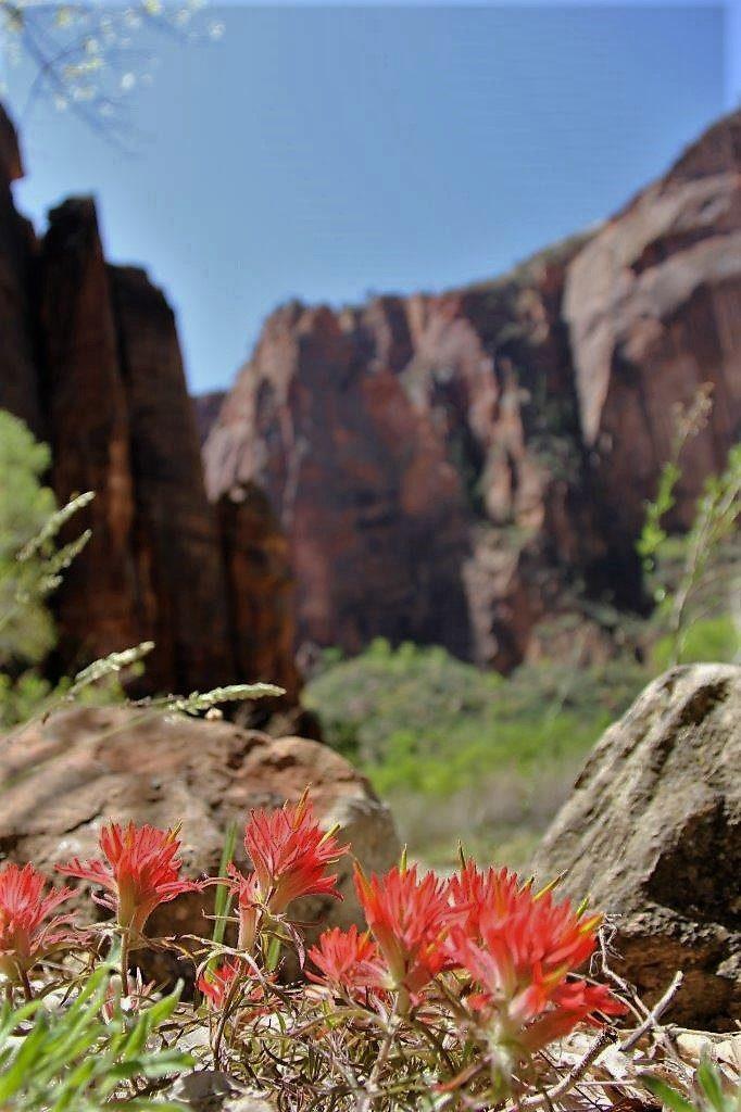 Zion National Park wild flower