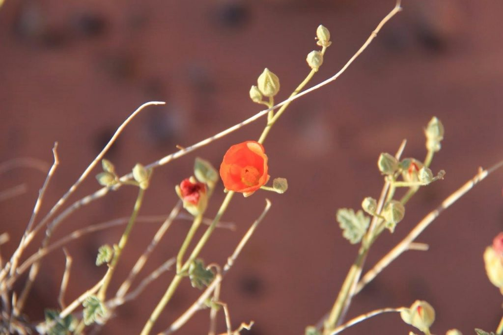 Wild flower at Valley of Fire