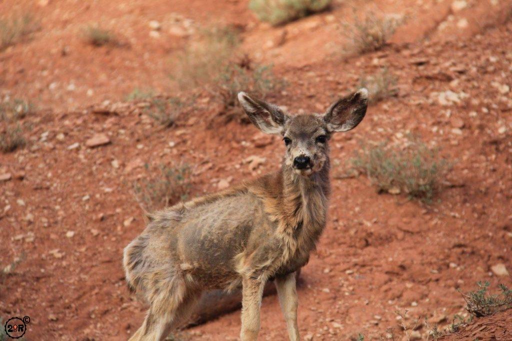 Deer in Capitol Reef