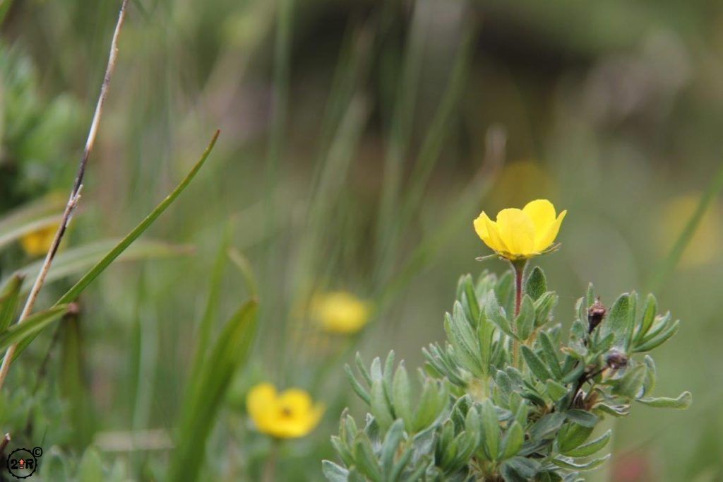 Alpine Avens at Glacier National Park