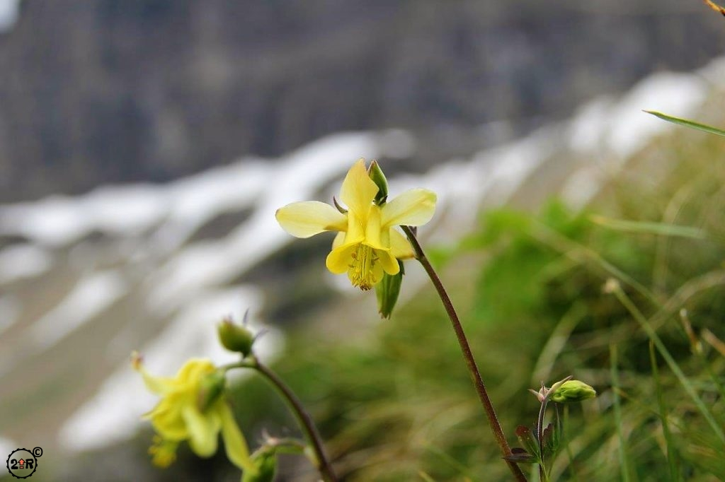 Wild Yellow Daffodil at Glacier NP