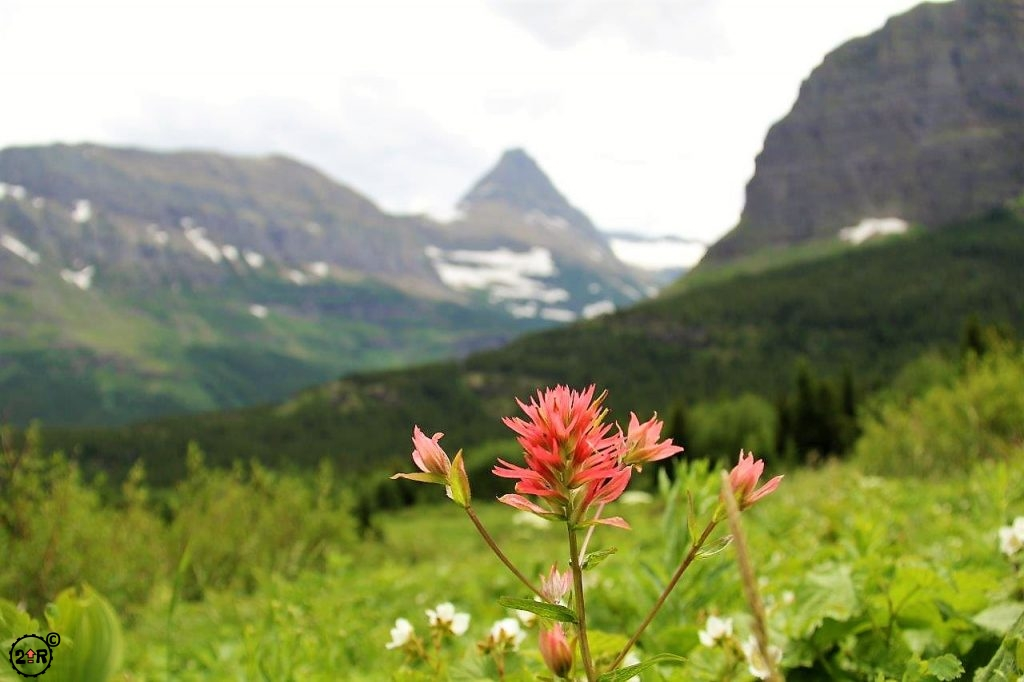 Red paintbrush flower in Glacier NP
