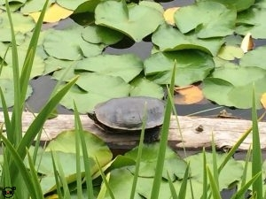 The Painted Turtle at Dutch Lake